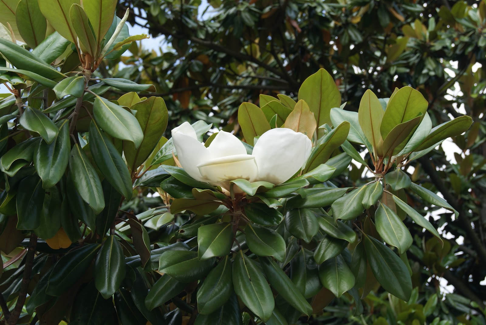 Subjectiveday our native magnolias - Magnolia grandiflora ...