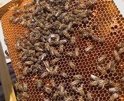 Желтая кавказская порода пчел