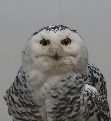 Sharp Eyes on Fuzzy Owl
