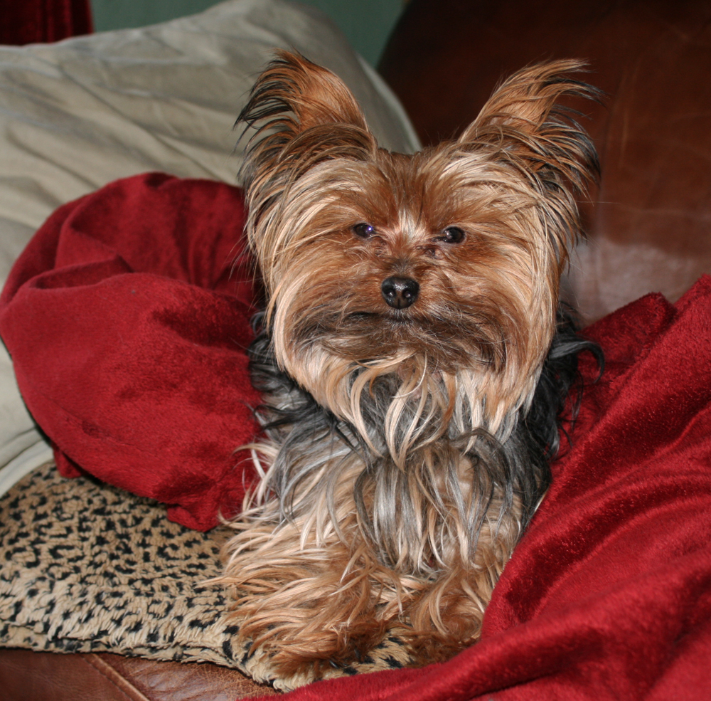 Miniature Yorkshire Terrier Time For A Yorkie Haircut