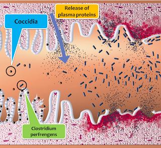 Clostridium perfingens trong lòng ruột.