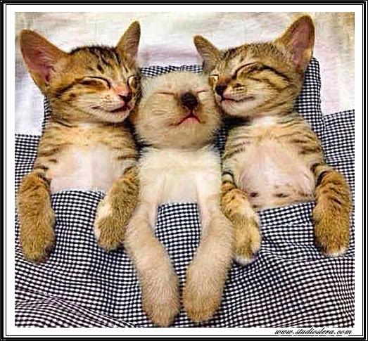 studioslera.com trio gatitos