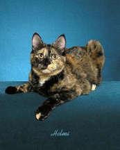 gambar kucing black tortoiseshell