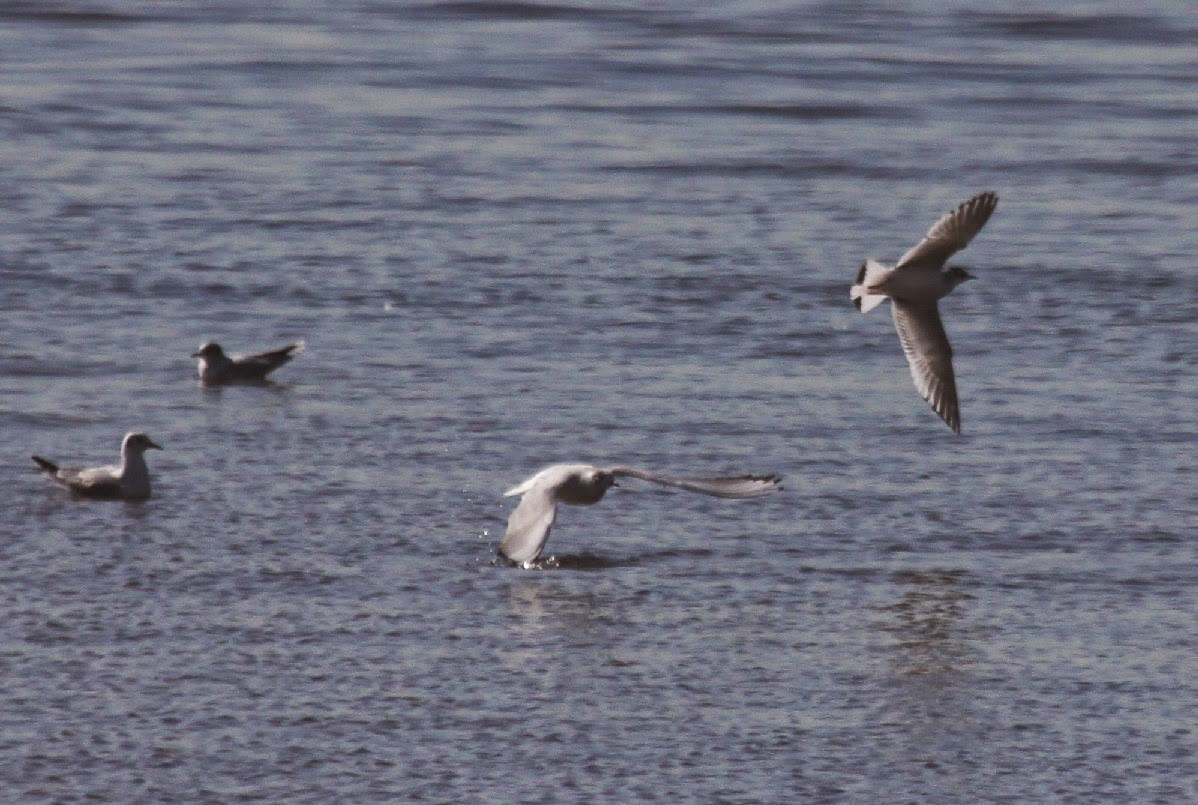 New england coastal birds jan 7 2015 the tide chart read that the tide was now outgoing and like a signal went off all the gulls lifted off and headed out into the sound geenschuldenfo Choice Image