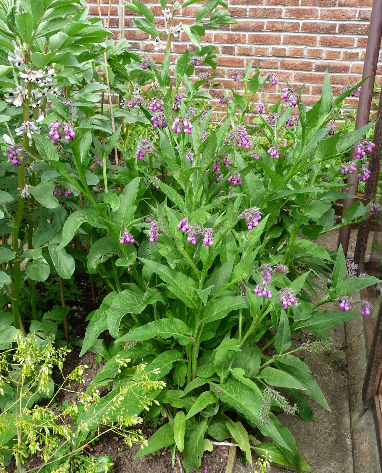 comfrey dating site Comfrey leaf has been used since roman times, dating back thousands of years this herb has been utilized in folk medicine throughout europe and north america and has been widely cultivated.