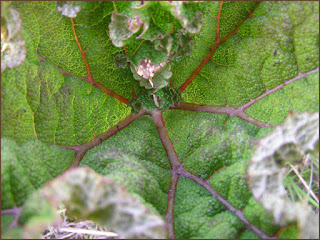 Gunnera, Gunnera manicata, Gunnera leaf
