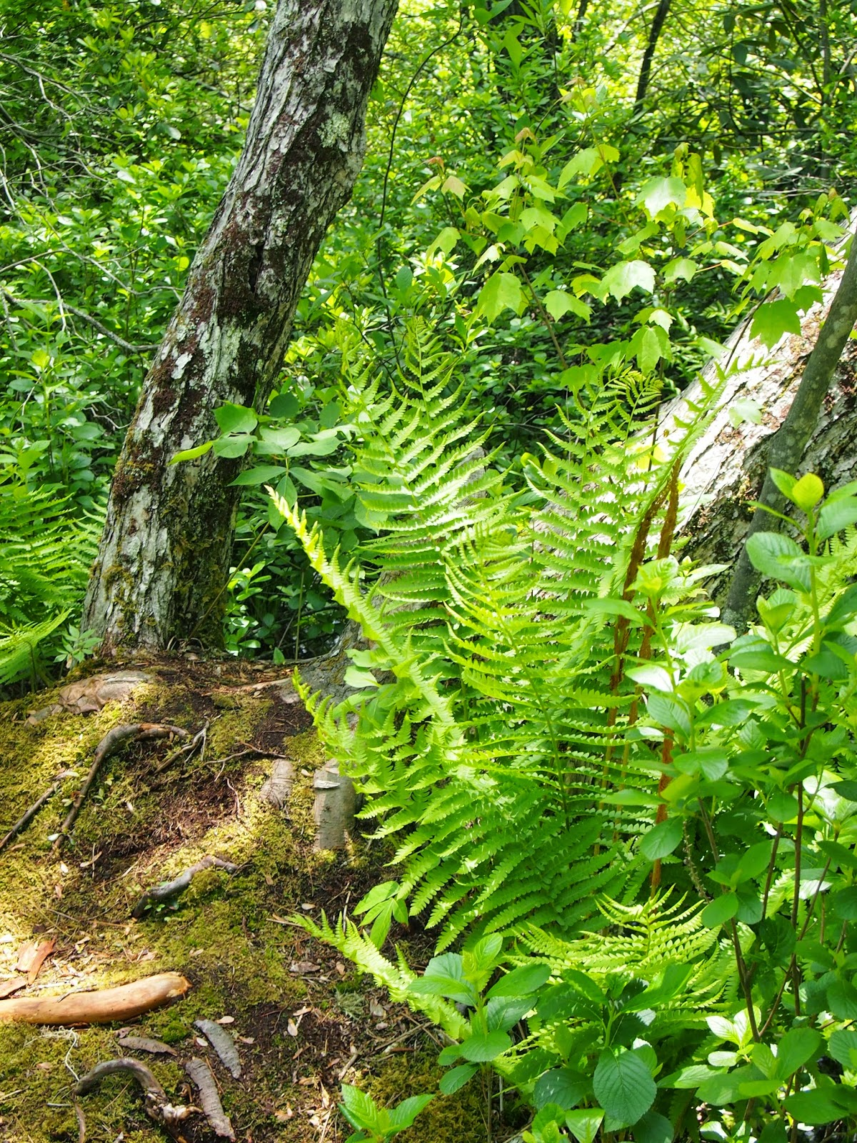 Ferns in the Rhododendron Sanctuary