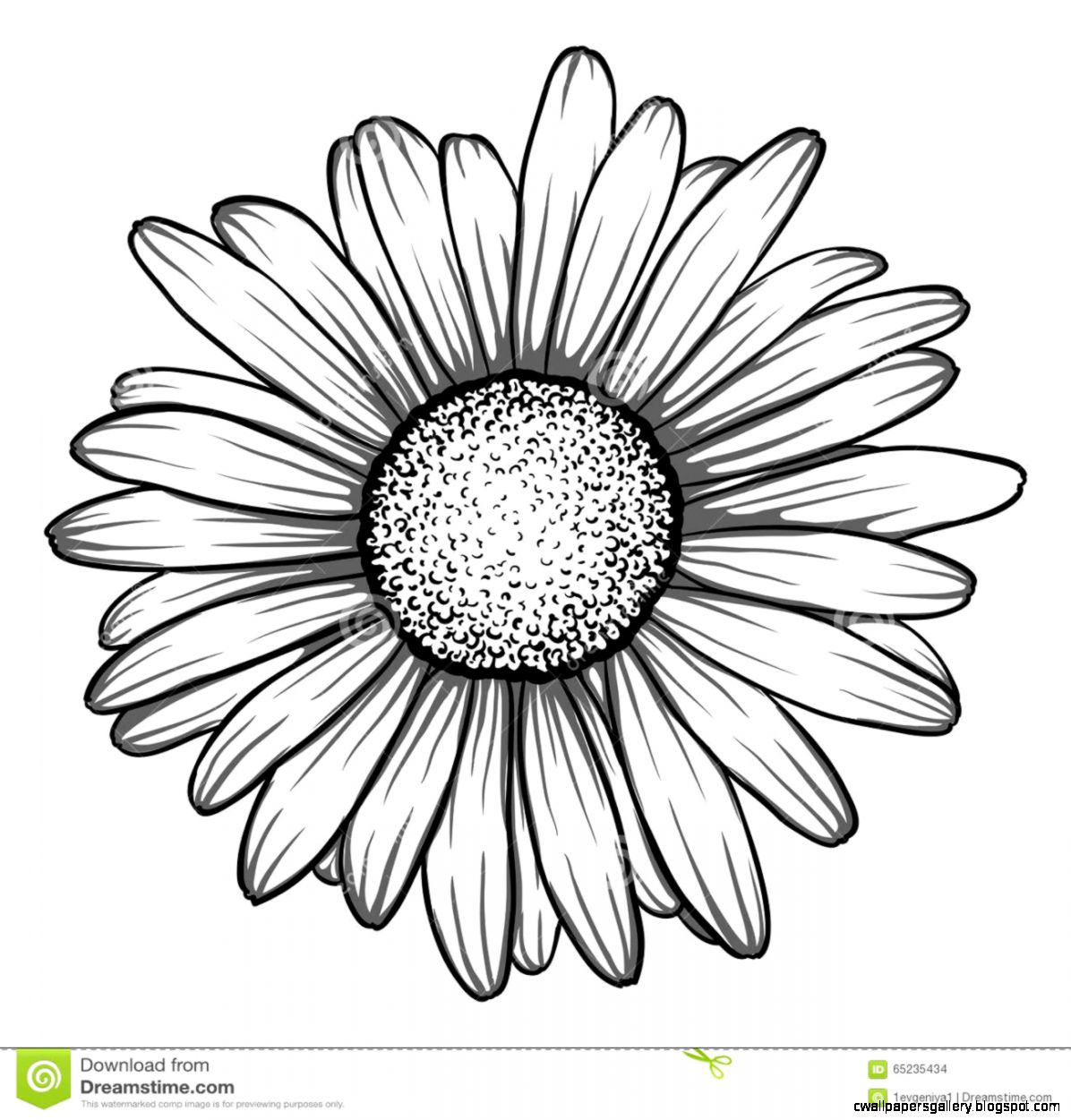 Beautiful Monochrome Black And White Daisy Flower Isolated Stock