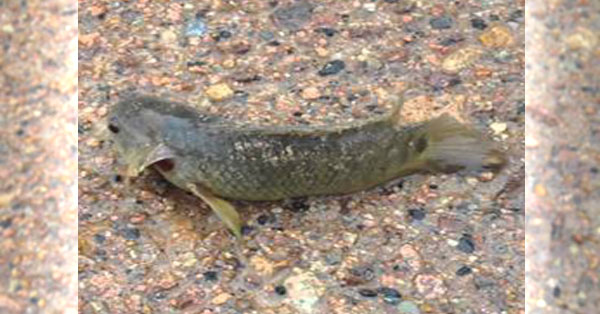 Watch fish that can walk survive 6 days without water for Fish that walk on land
