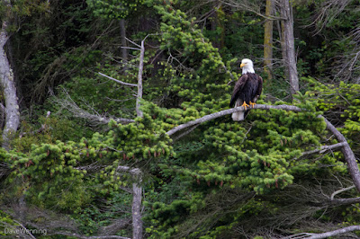 Bald Eagle in Canoe Pass