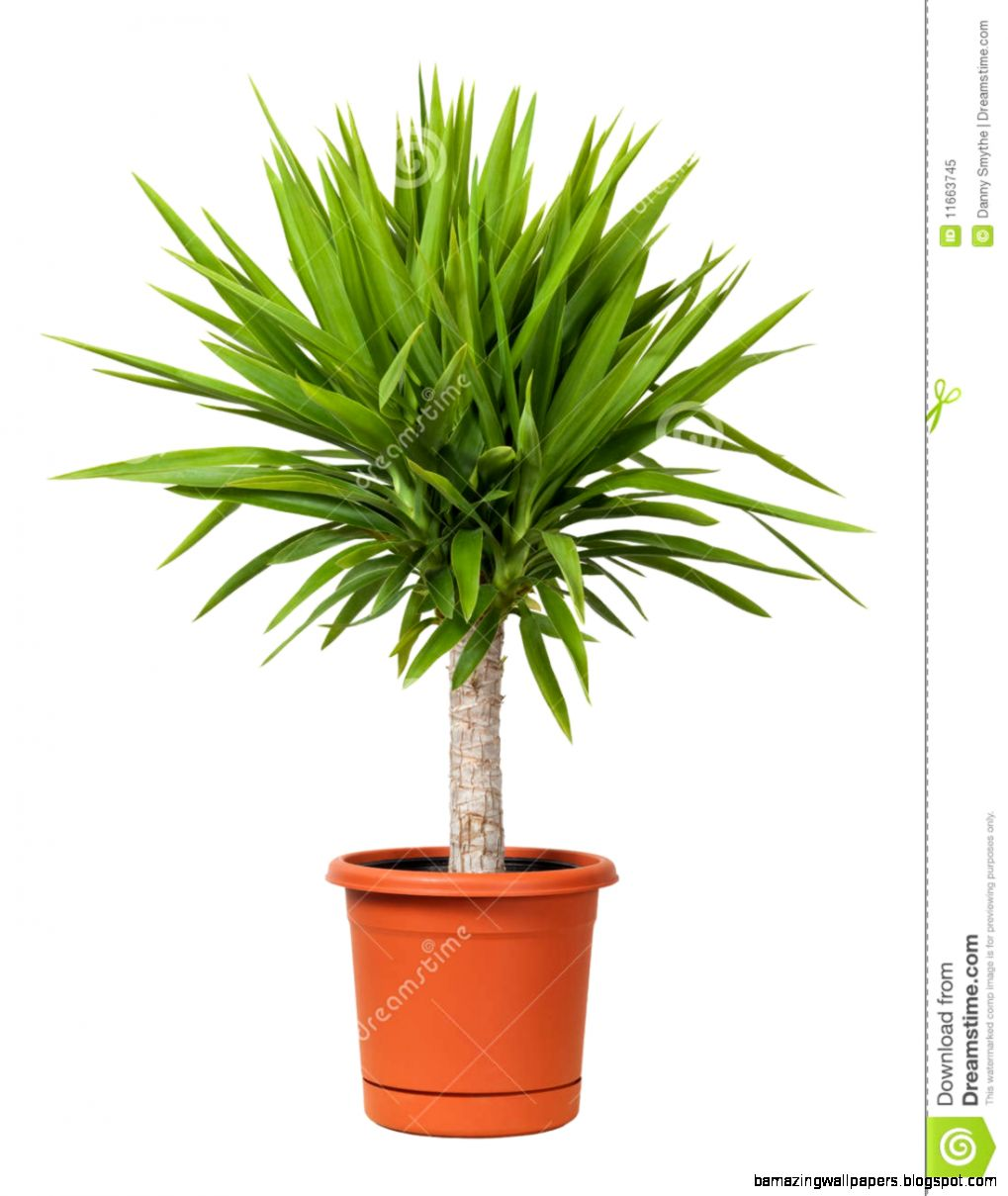 Yucca Potted Plant Isolated Royalty Free Stock Photo   Image 11663745