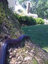 Snake at Ash Lawn