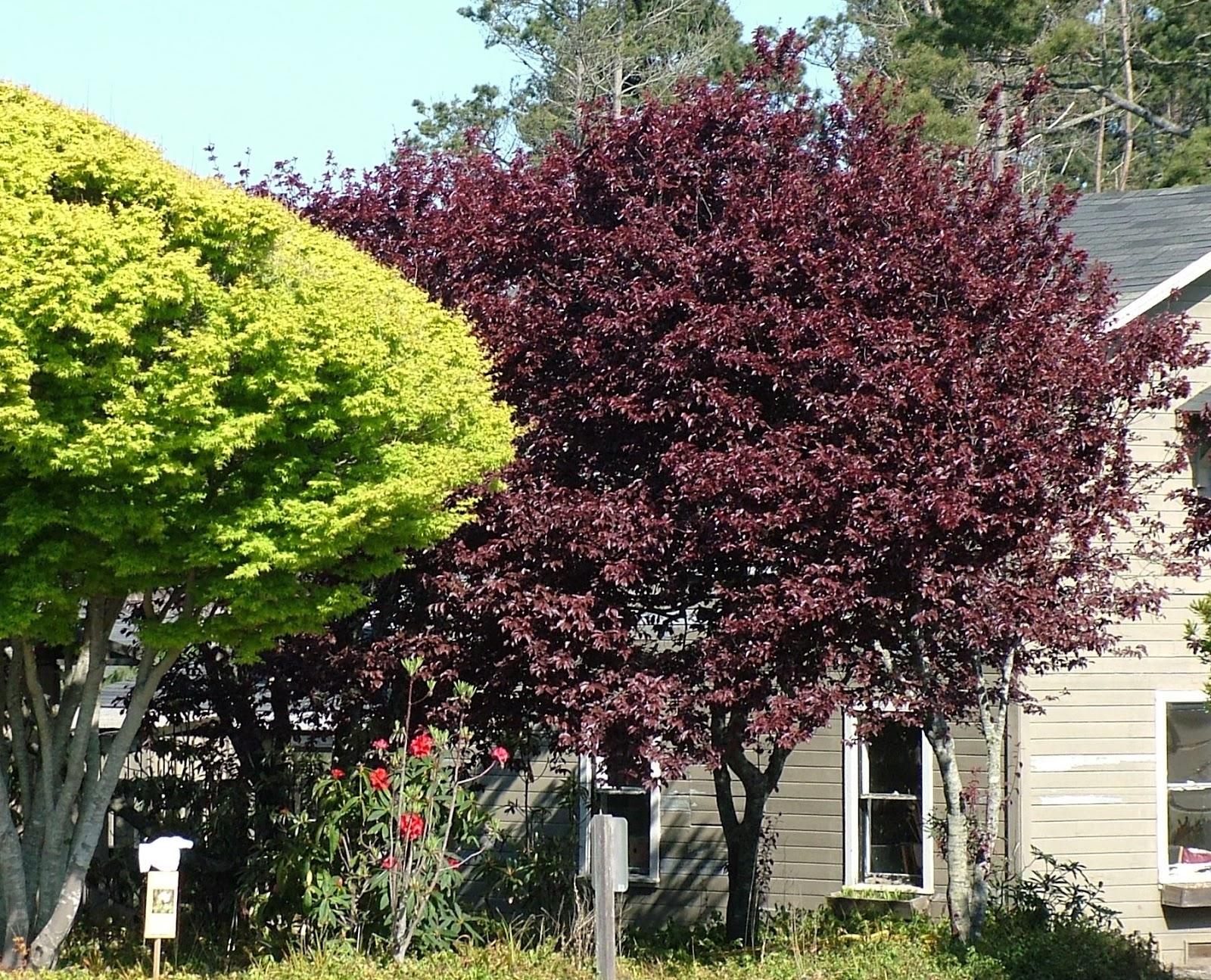 Arte y jardiner a empresa prunus cerasifera pissardii for Arbol ciruelo de jardin
