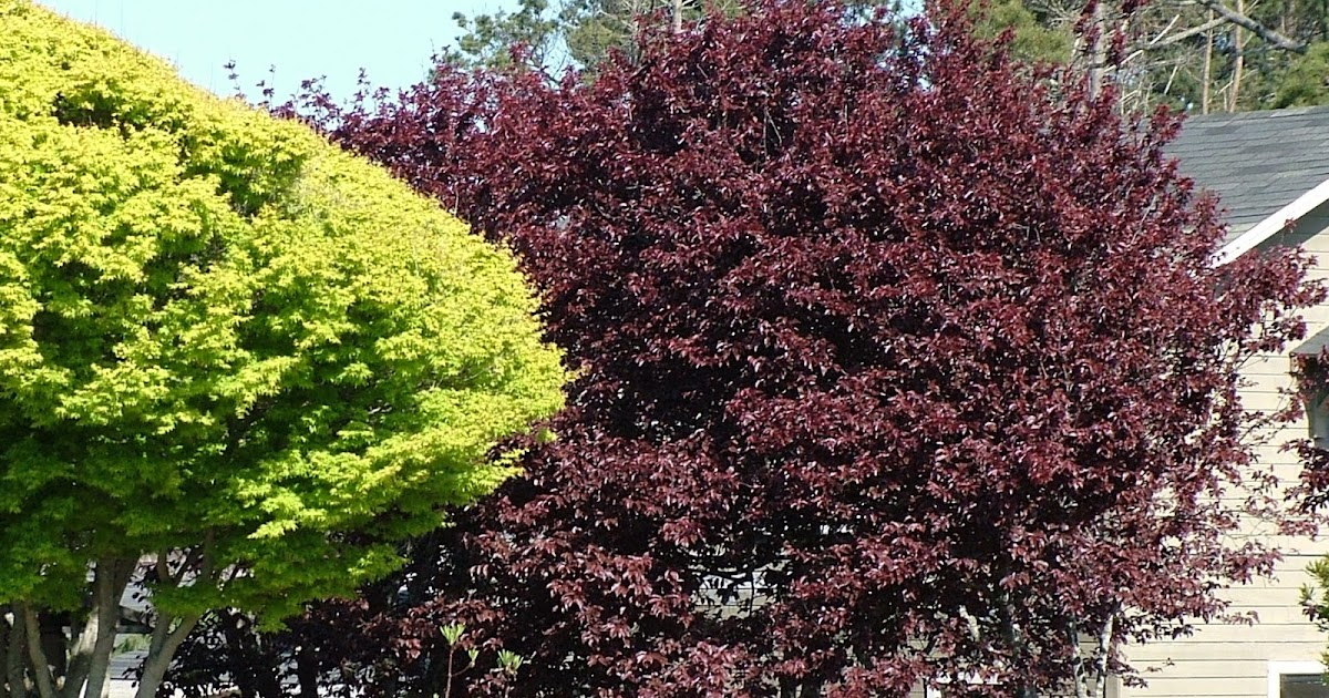 Arte y jardiner a dise o de jardines prunus cerasifera for Diseno de jardines 3d 7 0 keygen