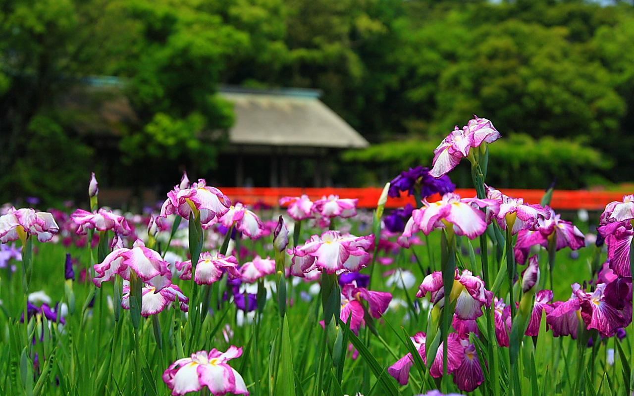Romantic Flowers Iris Flowers