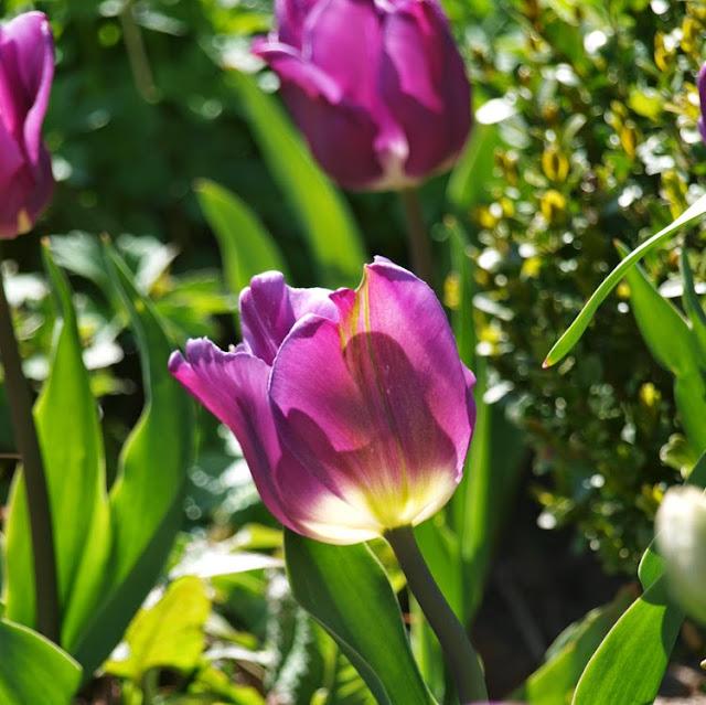 Lavendelblå tulipan i haven