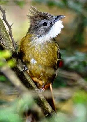 Gambar Cara Merawat Burung Cucak Jenggot
