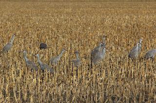 Sandhill Crane Migration - feeding