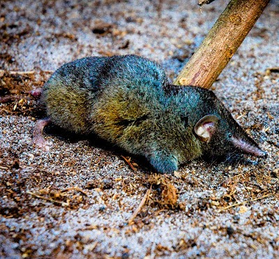 thors hero shrew Wikipedia's image demonstrates that this armored shrew is completely  hi, they  have found another shrew called thor's hero shrew.