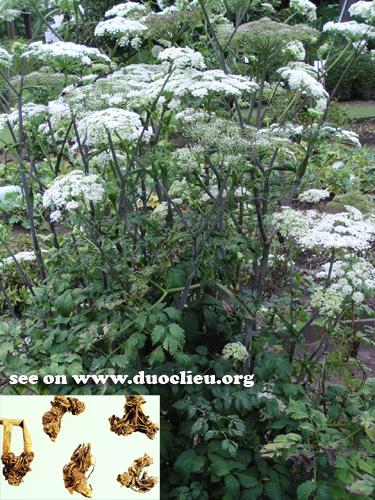 Botanical Name: 1. Ligusticum sinense oliver; 2. Ligusticum jeholense Nakai et Kitag.
