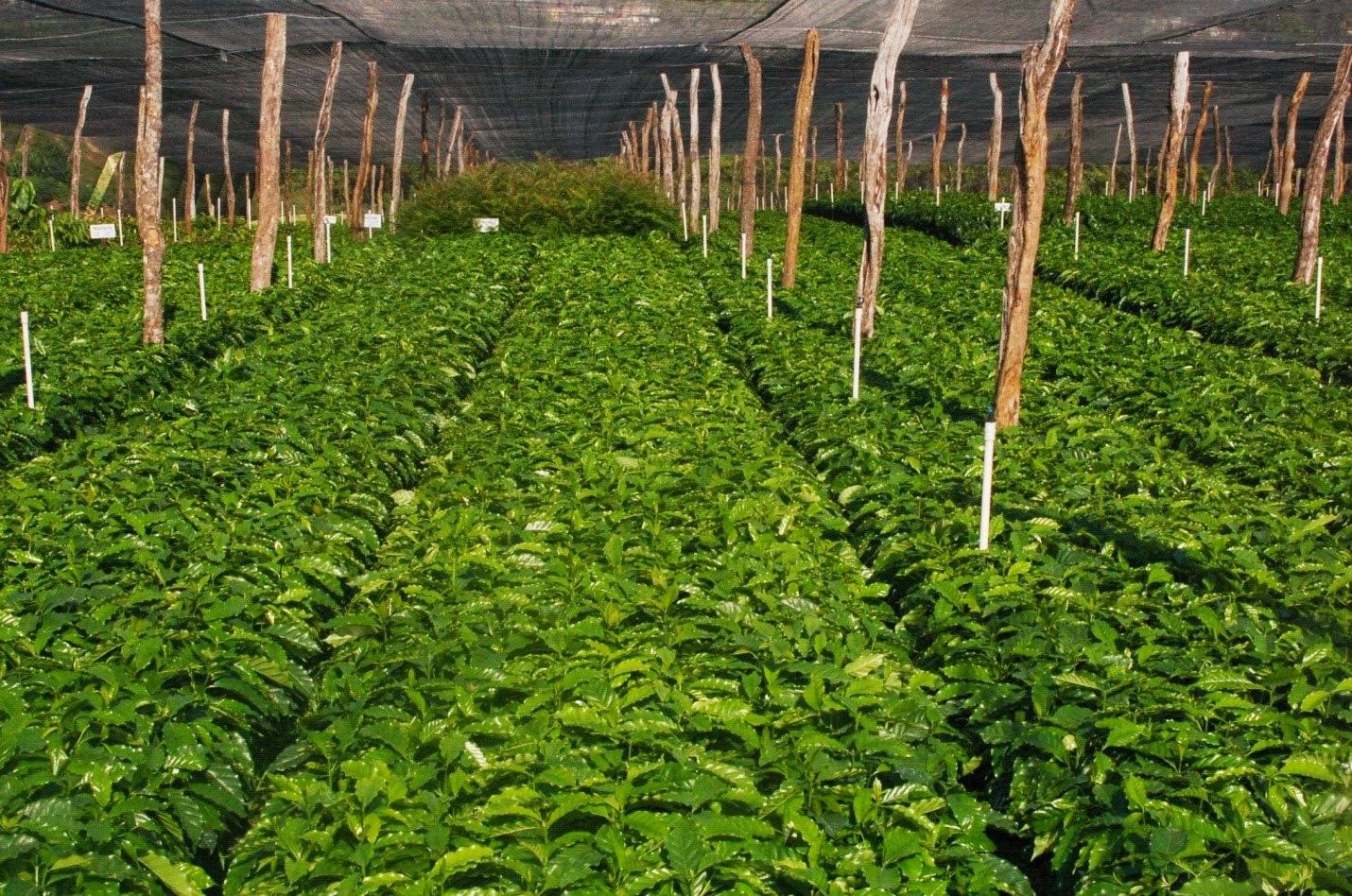 Nacionales codocaf presenta propuesta de desarrollo del for Vivero de cafe pdf