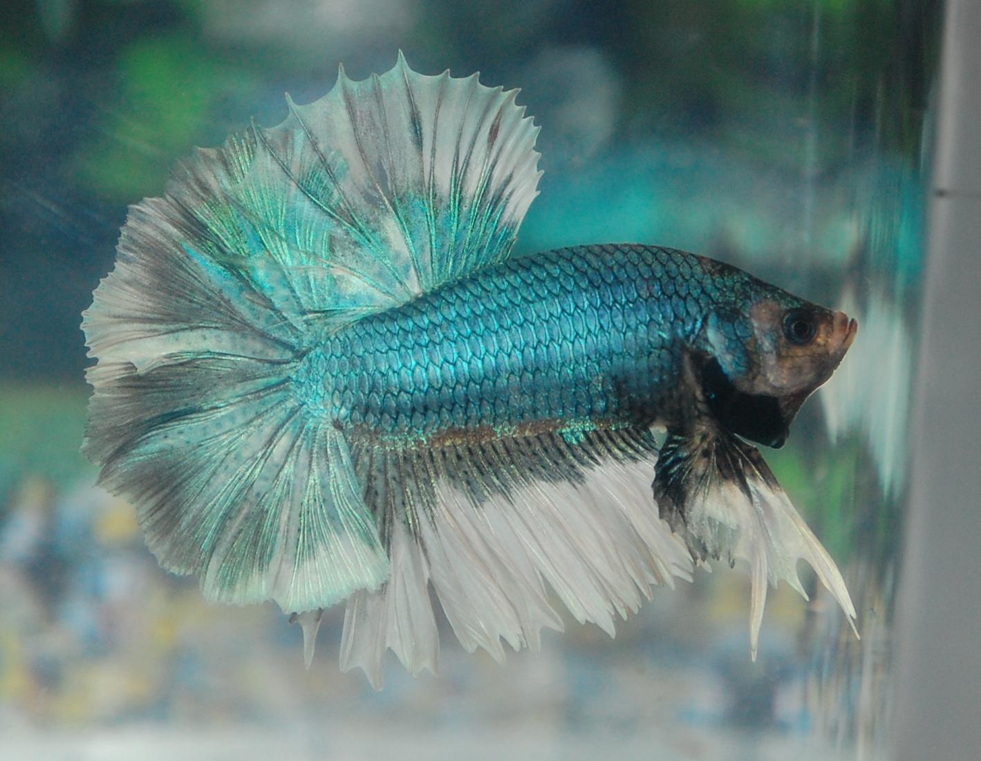 Betta fish afira betta halfmoon new june for Halfmoon betta fish