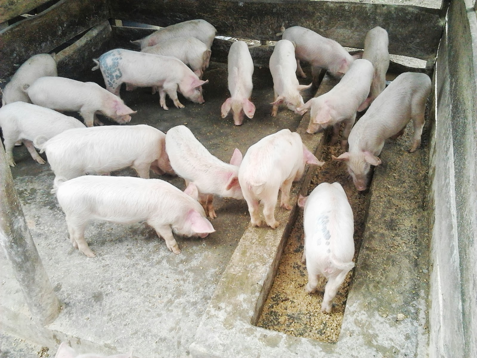 How to Start Pig Farming Business Plan In India With Videos