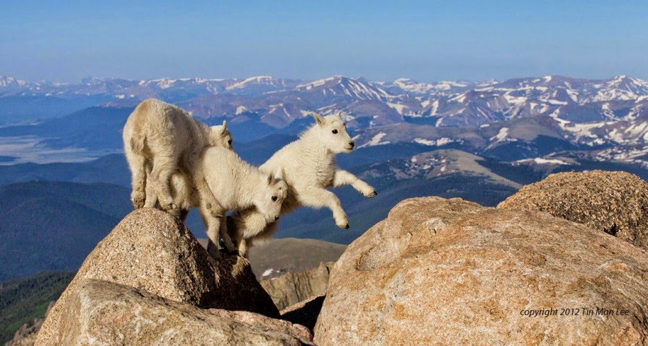 50 Powerful Photos Capture Extraordinary Moments In The Wild - Goat Kids Playing At 14,000 Feet