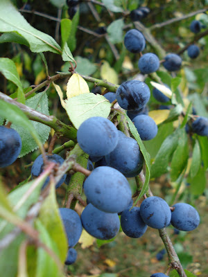 how to make homemade sloe gin