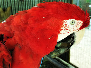 Arara Vermelha, Mini Zoológico de Aves, Santiago, RS