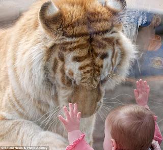 fetita tigru2