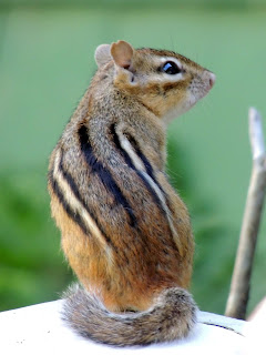 Chipmunk looking over shoulder