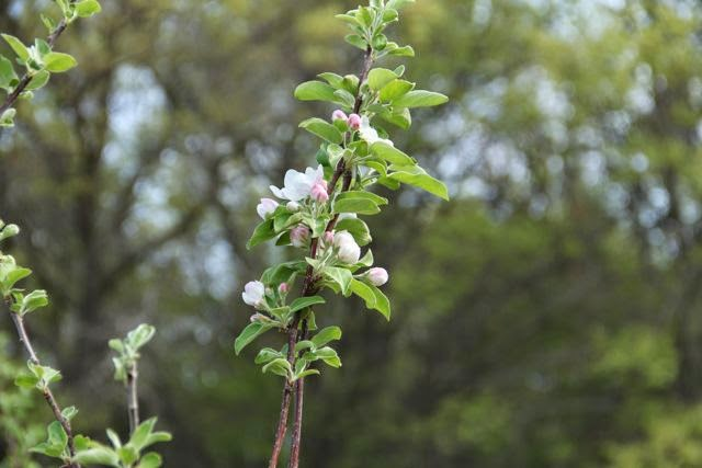 apple tree's first blossoms