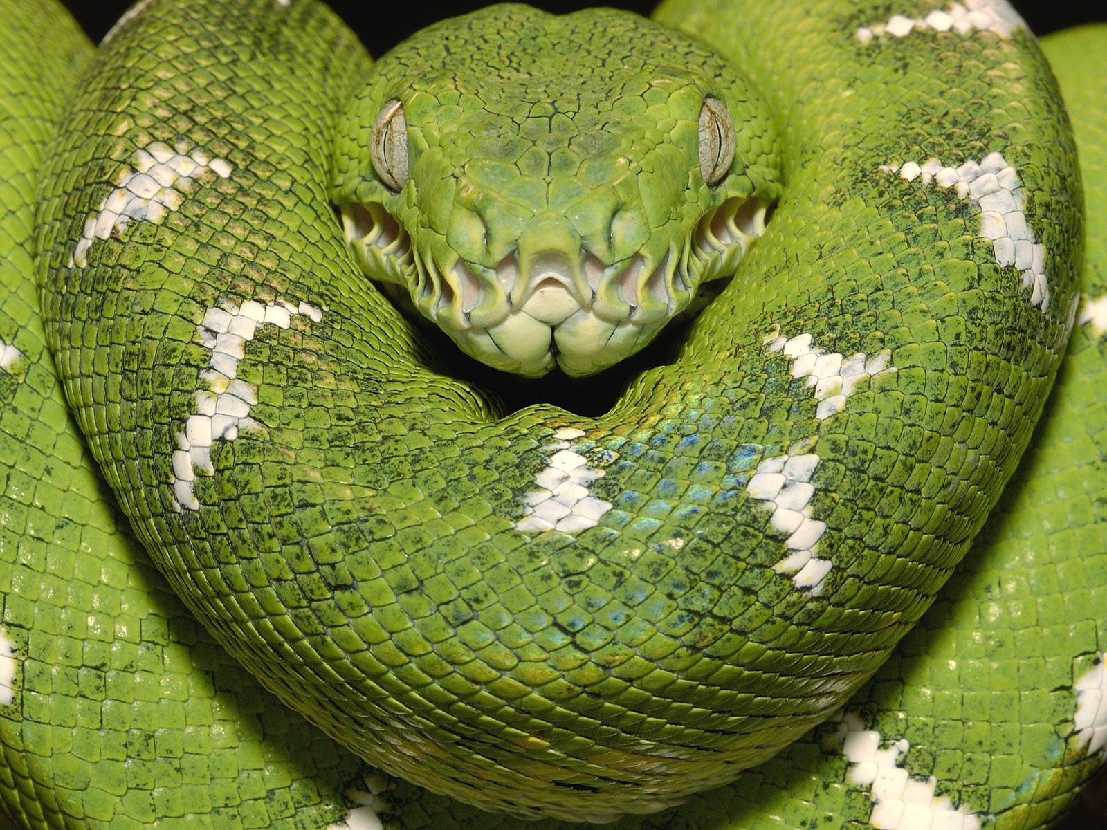 emerald tree boa amazon equador wallpapers - Emerald Tree Boa (Corallus caninus) adult Amazon Ecuador