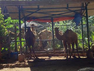 camels in zoobic safari