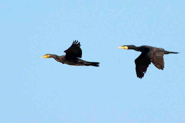 pair, birds, in flight, black, blue sky