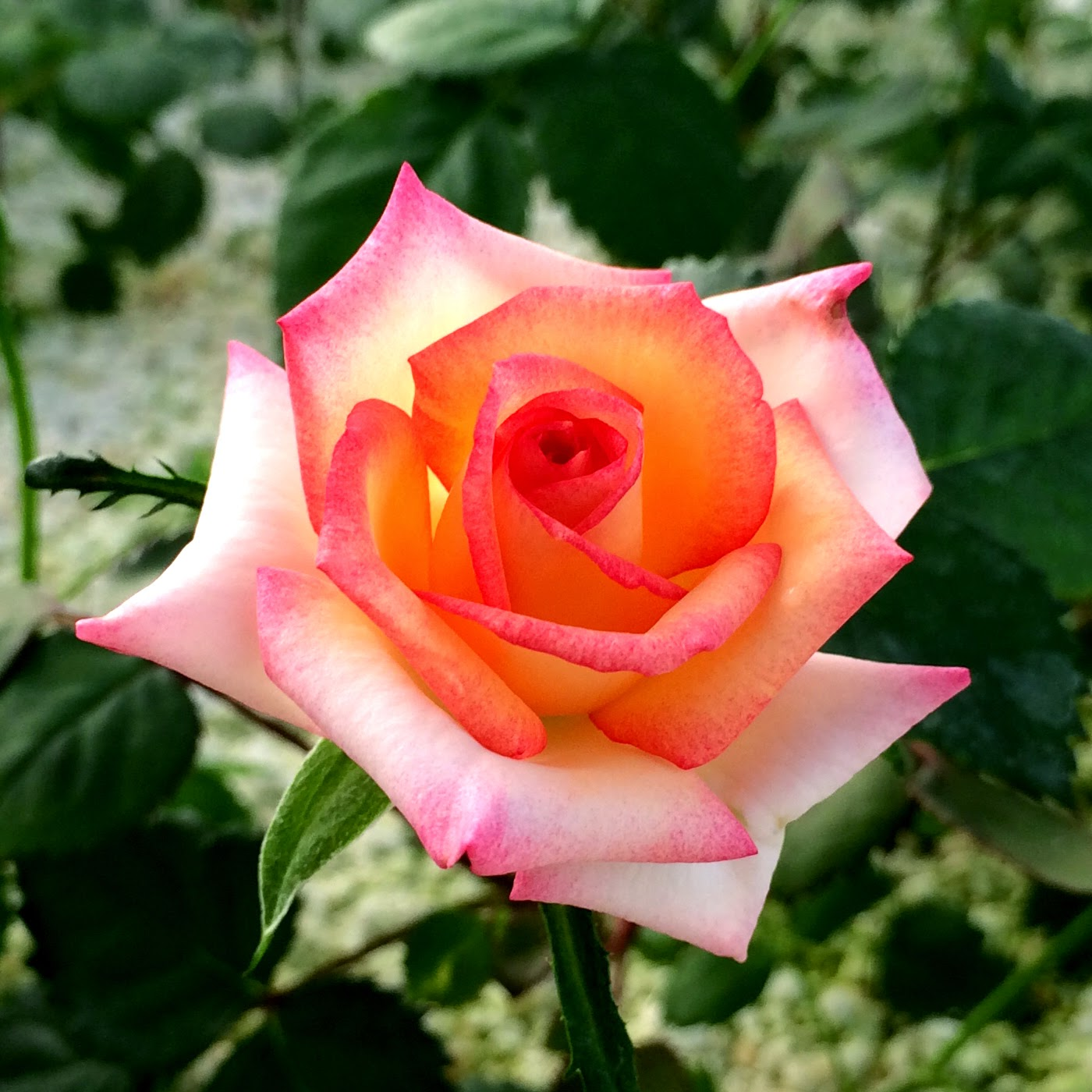 the science of rose breeding About breeding systems for 94 wild species of rose around the world many roses can self-pollinate, a few can reproduce asexually (agamospermy), while some are obligate outcrossers even to the extreme of dioecy however, many roses show combinations of breeding.