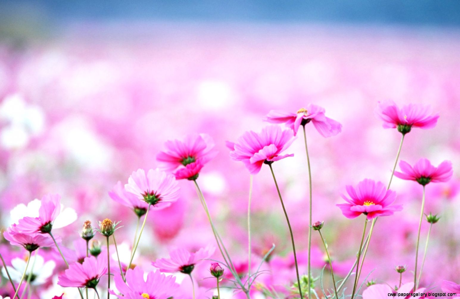 40 BEAUTIFUL FLOWER WALLPAPERS FREE TO    Godfather Style