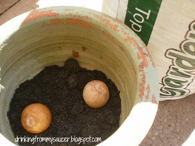 planting avocado pits