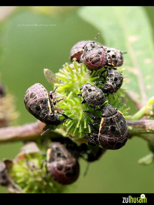 Shield bug montok breakfast
