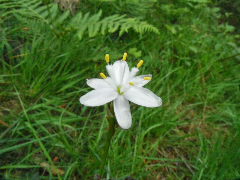 Simethis planifolia