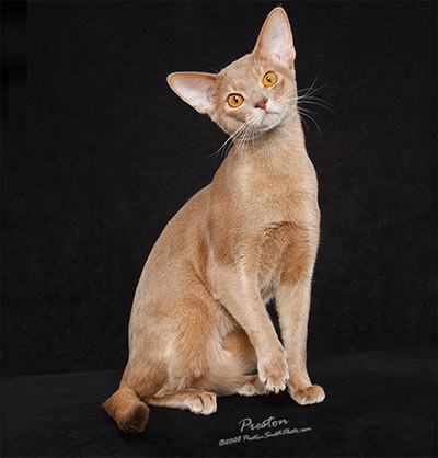 Fawn Colored Cat Fawn abyssinian