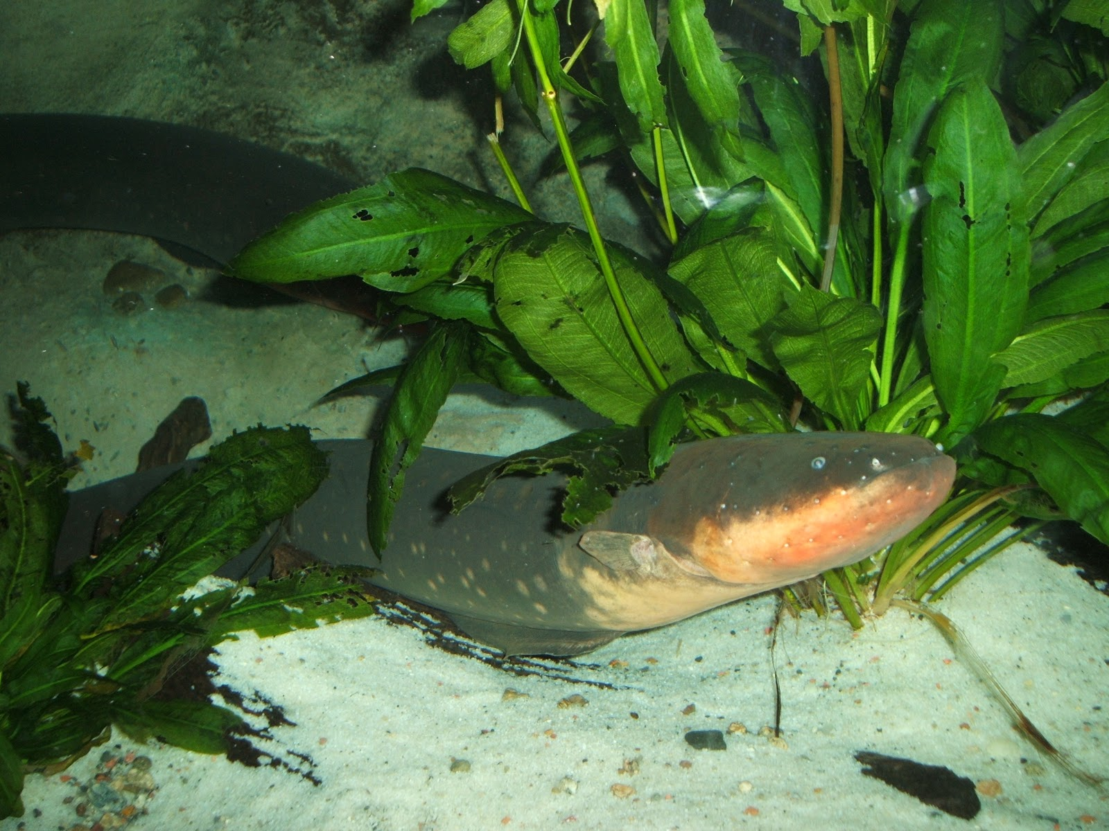 electric eel Read about electrophorus electricus (electric eel) on the animal diversity web.