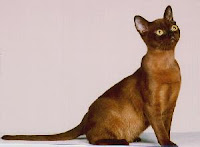 Ras-kucing-Birma