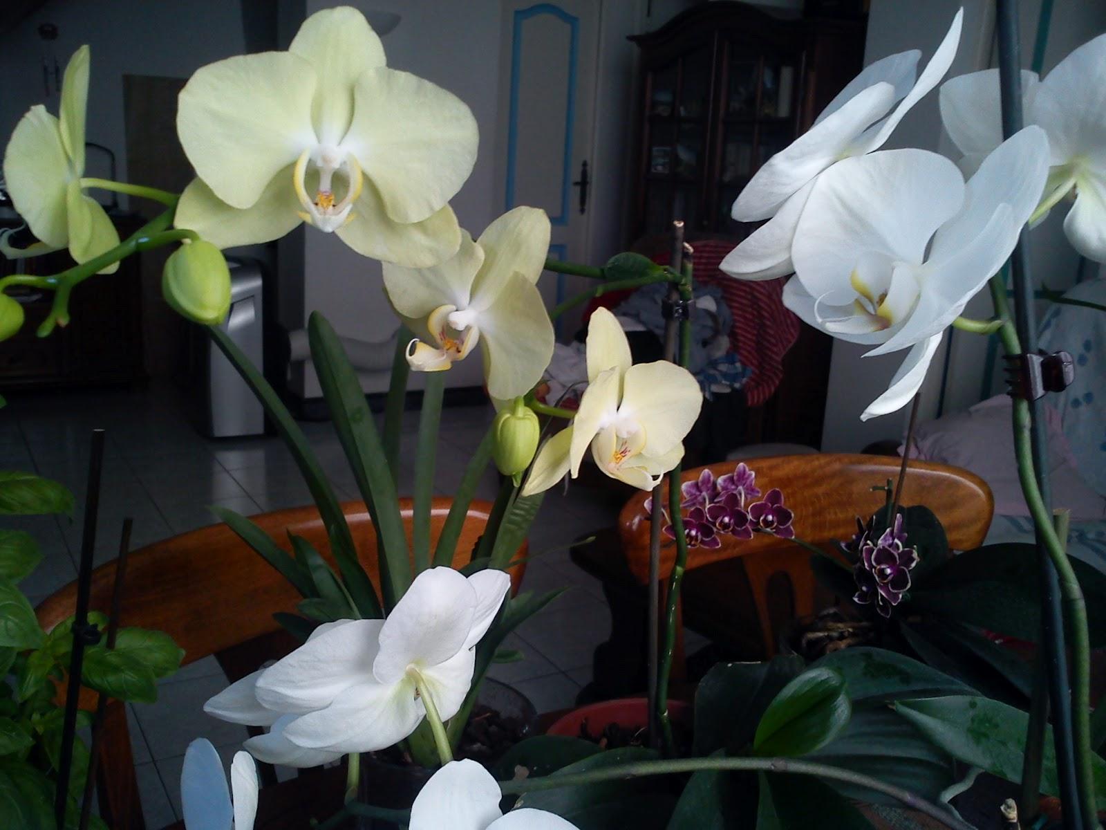 http://3.bp.blogspot.com/-q9guy1fMk40/UABhrRYhddI/AAAAAAAAAUE/m7ngSx9N_Nw/s1600/Phalaenopsis+yellow+treasure+et+blanche.JPG