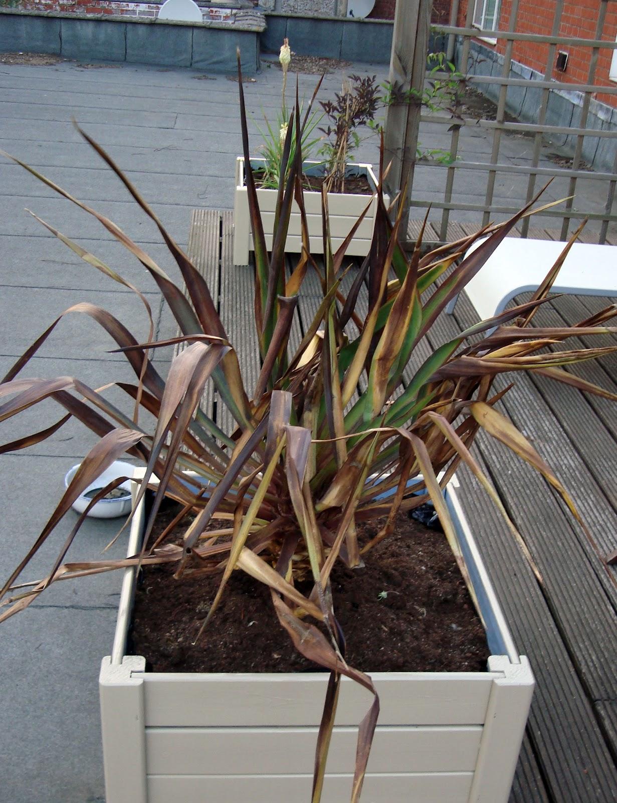 xx garden yucca. Black Bedroom Furniture Sets. Home Design Ideas