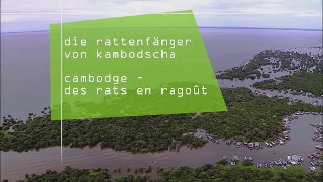 Chaque année, pendant la mousson, les eaux du lac Tonlé Sap montent de plusieurs mètres. Si bien qu'en septembre, les pêcheurs ont du mal à atteindre le fond du lac avec leurs filets. Ils se rabattent alors sur les rats. Car en période de crue, les rongeurs vivent dans les arbres et se nourrissent de fruits. Selon les chasseurs, cela réduit les risques sanitaires et les rend propres à la consommation. Pour les familles de pêcheurs les plus pauvres, c'est une source de revenus non négligeable. 360°-GÉO a accompagné une famille lors de la chasse au rat et assisté à la vente du butin dans des restaurants ou des fermes à crocodiles.