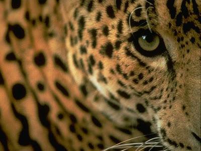 http://3.bp.blogspot.com/-qAKDo3maw2g/TbXku35YYjI/AAAAAAAAAZ8/9sNCiAM5qfk/s1600/jaguar+onca.jpg
