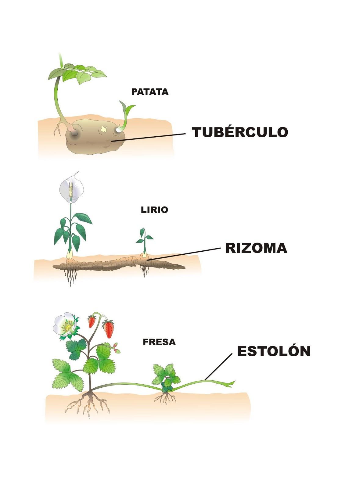 Tipos de reproducción asexual de las plantas