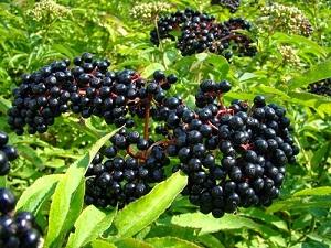 Luar Biasa Ternyata Buah Elderberry Memiliki 7 Manfaat Bagi Kesehatan